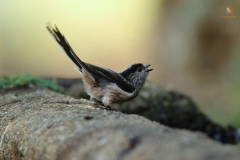 Mito /  Long - Tailed Tit (Aegithalos caudatus)