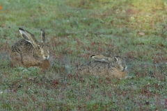 Liebre ibérica /Iberian Hare (Lepus granatensis)