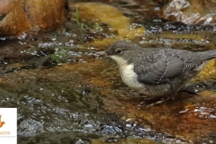 Mirlo acuático (Cinclus cinclus) / White-throated dipper