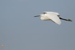 Garceta común/ Little egret (Egretta garzetta)