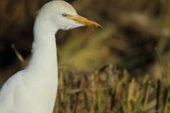 Garcilla bueyera/ Cattle egret (Bubulcus ibis)