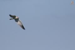 Elanio Azul/ Black Shouldered Kite (Elanus caeruleus)