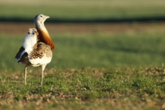 Avutarda común / Great Bustard (Otis tarda)