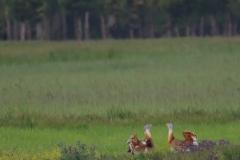Machos de Avutarda común / Great Bustard males (Otis tarda)