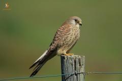Cernícalo primilla (Falco naumanni)/Lesser kestrel