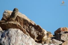Mochuelo europeo (Athene noctua) /Little owl