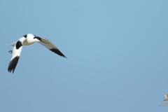 Avoceta común (Recurvirostra avosetta) /Pied avocet
