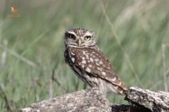 Mochuelo europeo (Athene noctua) / Little Owl
