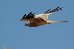 Aguilucho cenizo (Circus pygargus)/ Montagu´s Harrier