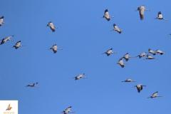 Grullas comunes (Grus grus)/Common cranes