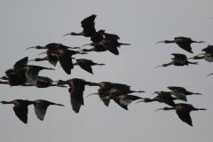Morito (Plegadis falcinellus) / Glossy ibis