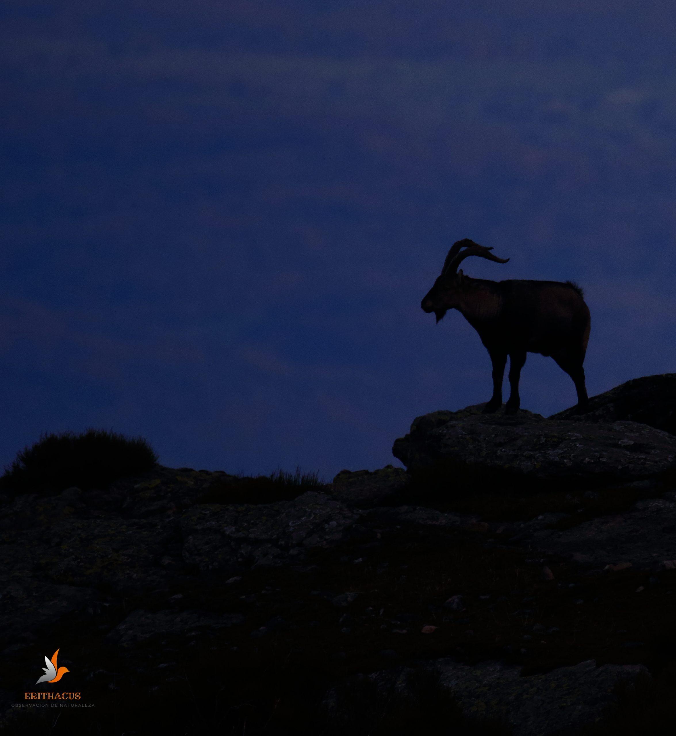 El celo de la Cabra Montés